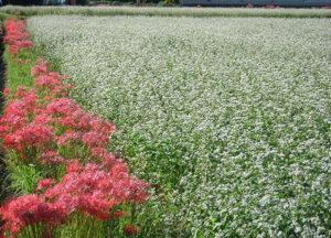 秋には蕎麦の花が咲きます